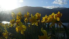 daffodils - Mr Ush
