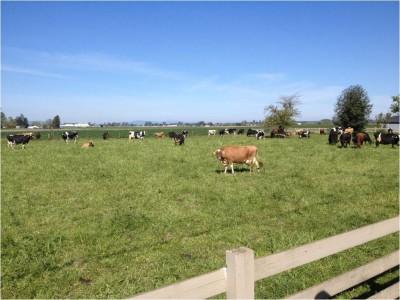 Skagit cows